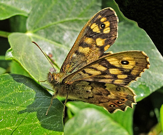 5960 speckled wood butterfly