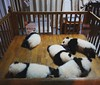 Baby panda having a snooze #chengdu