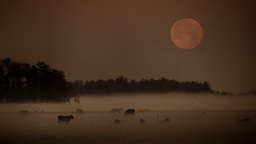 unfortunately no cows jumped over the moon