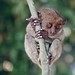 Small photo of Tarsier