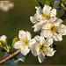 Ciruelo  (prunus domestica)