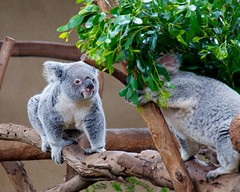 Koalas in San Diego zoo.