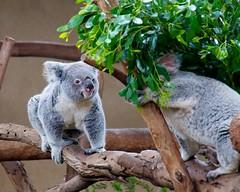 Koalas in San Diego zoo.