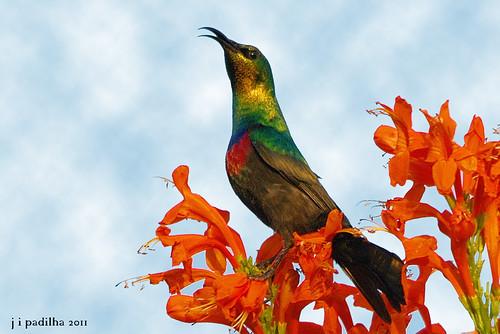 birds aves gaborone botswana maricosunbird cinnyrismariquensis vigilantphotographersunite vpu2 vpu3 vpu4 vpu5 vpu6 vpu7 vpu8 vpu9 vpu10