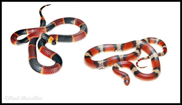Coral Snake/Scarlet Snake   Flickr - Photo Sharing!