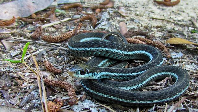 bluestriped garter snake (Florida)   Flickr - Photo Sharing!
