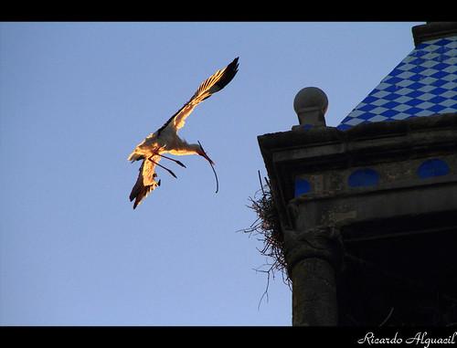 sunset tower atardecer torre ricardo nido naranja stork trujillo vuelo plumas extremadura ramas cigueña alguacil ricardoalguacil