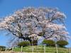 Photo:醍醐桜 By kagawa_ymg