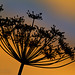 Sunset thru dill weed, July 31, 2010