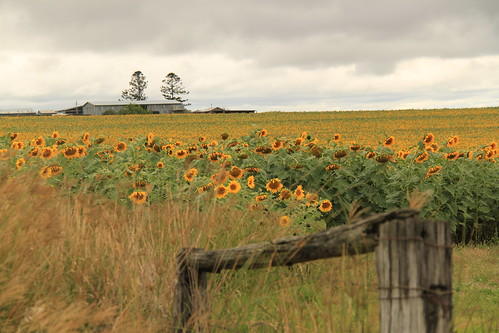 sunflowers killarney