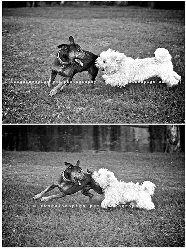 Play 2 by twoguinepaigs pet photography