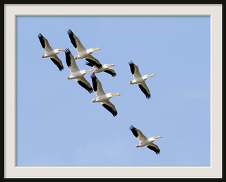 Tight White Pelican Formation