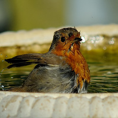 Bathing Robin 5