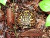 "<a href=""http://www.flickr.com/photos/mekkeon/5652509838/"">Photo of Terrapene ornata by Jerry</a>"