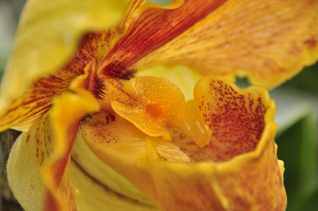 frauenschuh orchidee csc 1123 flickr photo sharing. Black Bedroom Furniture Sets. Home Design Ideas
