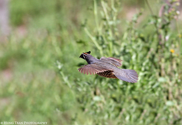 quail in flight 1 web ...