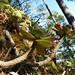 Small photo of Echeveria aff. montana