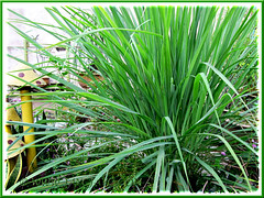 Cymbopogon citratus (Lemongrass, Barbed Wire Grass, Citronella Grass), at our frontyard - May 29 2011