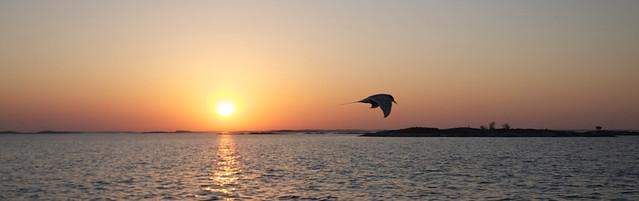 Arctic Tern at sunrise.