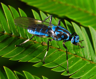 The beloved blue soldier fly