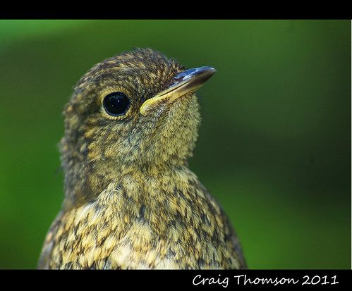 Juvenile Robin  (Strathaven, South Lanarkshire)