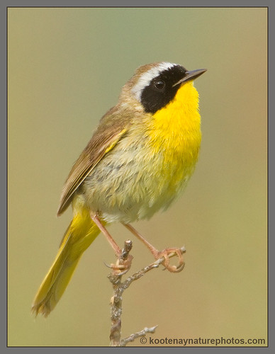 birds bc warbler ducklake commonyellowthroat geothlypistrichas