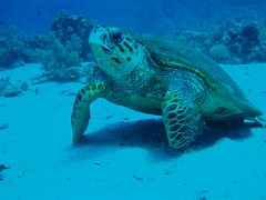 Swimming with Turtles Image