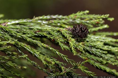 sequoiadendron giganteum leaves