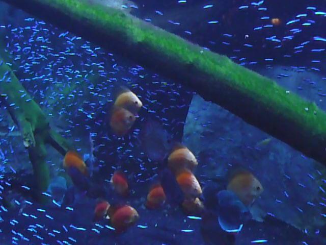 Newport Aquarium Kentucky Discus And Neon Tetras