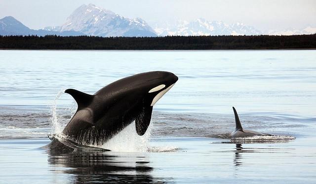 Orcas en las costas de Alaska.