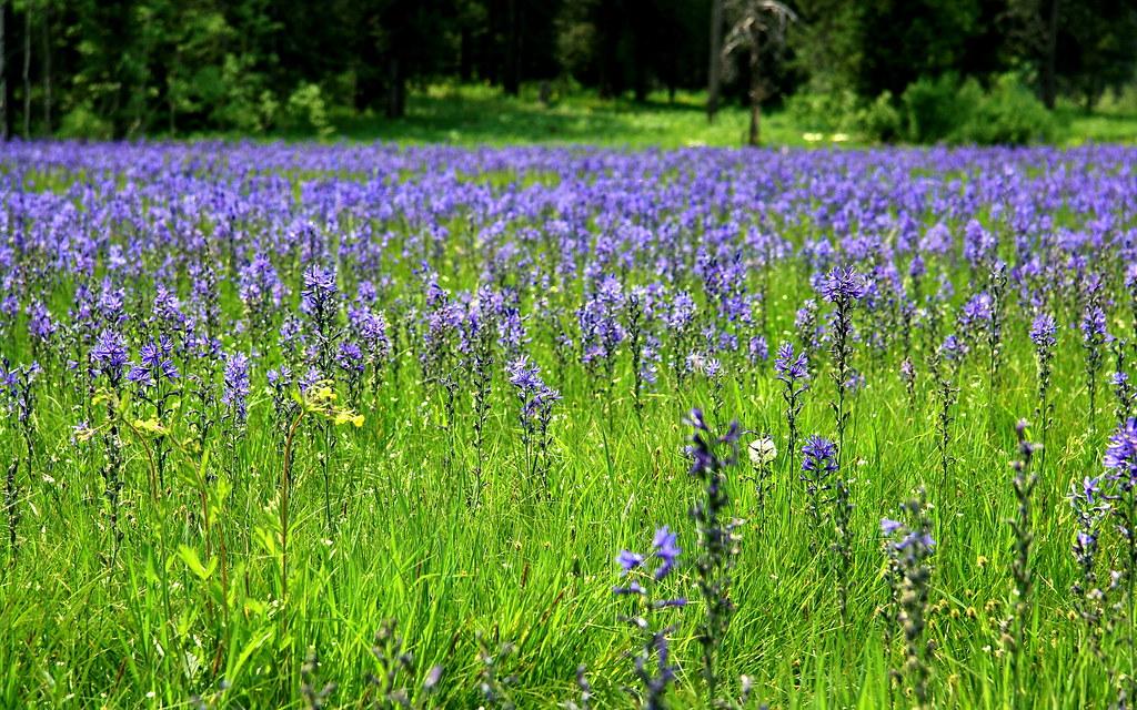 Lilies Field