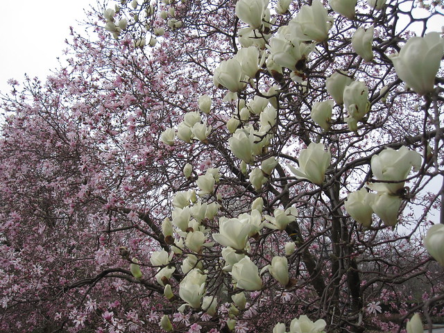 Magnolia 'Yulan' with  Magnoilia 'Leonard Messel'. Photo by Rebecca Bullene.