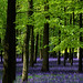 Ashridge Park, Hertfordshire, UK | National Trust Woodlands carpeted with English Bluebells in Spring (1 of 5)