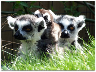Lemurs protecting new tiny baby! - Cotswold Wildlife Park