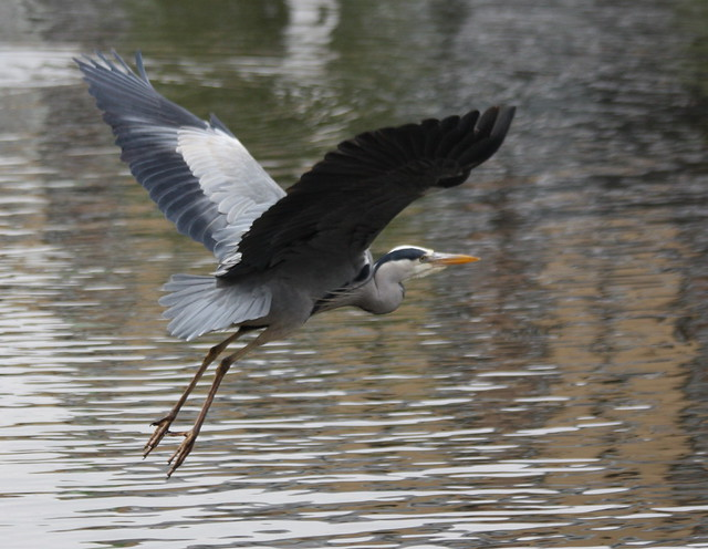Brentford - Apr 2011 - The Flight of the Heron 3