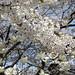 벚꽃/Cherry blossom/개포동/Gaepo-dong