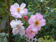 blossom(0.0), shrub(0.0), produce(0.0), flower(1.0), plant(1.0), rosa rubiginosa(1.0), rosa canina(1.0), flora(1.0), rosa pimpinellifolia(1.0), petal(1.0),