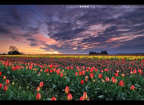 flower field clouds oregon sunrise spring seasons tulips farm tulip woodenshoe woodburn tomschwabel