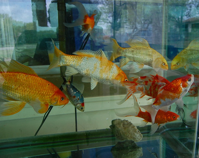 Koi and goldfish flickr photo sharing for Goldfisch und koi