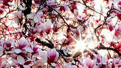 Magnolia Flare