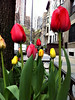 w68th_tulips in bloom