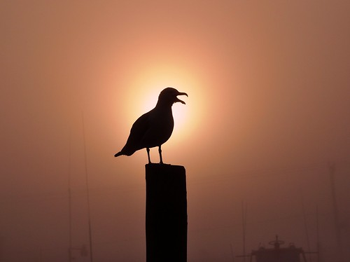 sun bird nature animal fog sunrise day seagull gull piling koolpix thewonderfulworldofbirds slbcalling dailynaturetnc13 wcswebsite photocontesttnc14 dailynaturetnc14