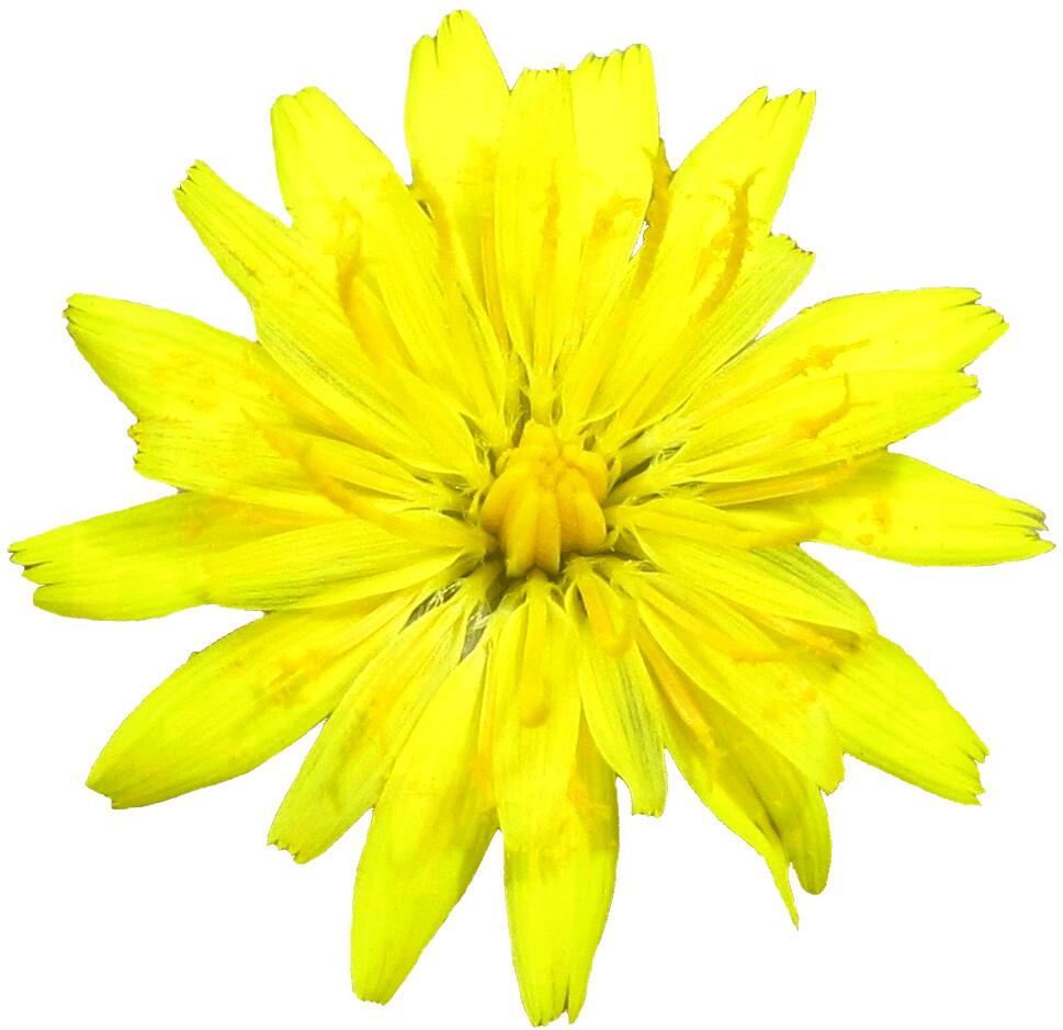 Dandelion flower clipart, lge 13 cm