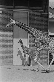 Giraffe met jong in Artis / Baby giraffe in Artis Zoo