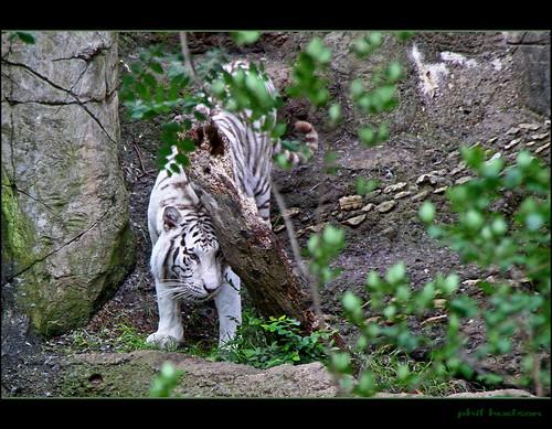 tiger whitetiger mygearandme mygearandme1