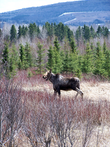 moose deer mammals cervidae alcesalces mammifères orignaux cervidés