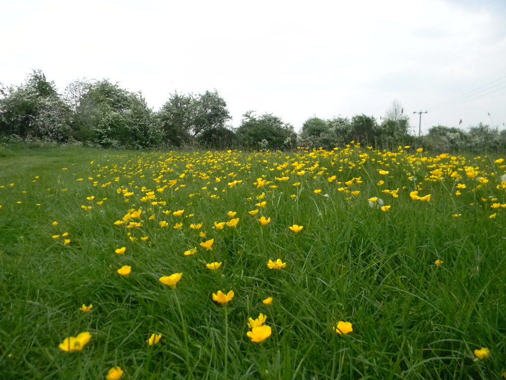 Buttercups in meadow Huntingdon Circular