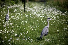 Heron(s) at f2