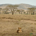 Lion Resting on Hill - Serengeti, Tanzania
