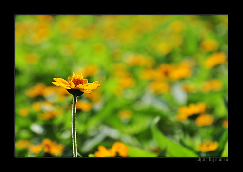 flowers light flower art nature yellow closeup daisies nikon colorful colours dof bokeh arts daisy backlighting d90 enhan